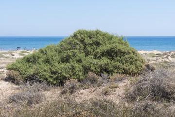 Salsola oppositifolia growing in the dunes of Carabassi