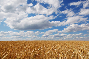 Field of ripe wheat ears against the blue sky with clouds.