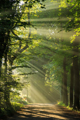 Sun rays shining through the trees in a forrest.