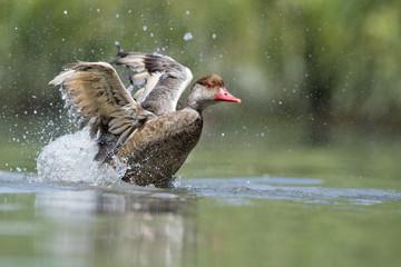 Wiild Duck while splashing on water