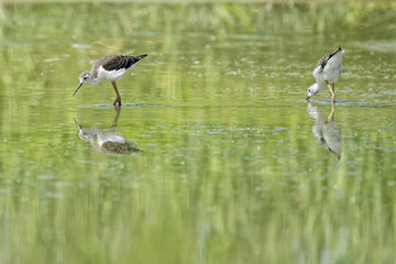 Isolated  black-winged stilt looking at you