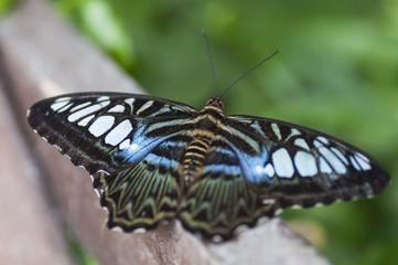 Exotic butterfly. The Bufferfly Arc, Montegrotto, Padova, Italy.