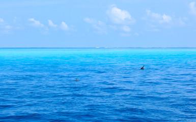 The Dolphin swimming in Maldives Island sea