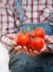 Farmer's organic fresh tomatoes