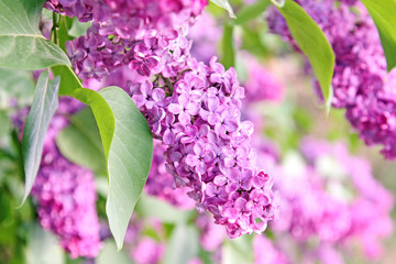 purple lilac bush