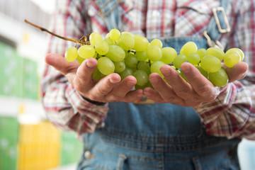Farmer holding tasty grapes