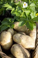 young potatoes on wood basket