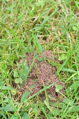 formicaio su prato_ giardino