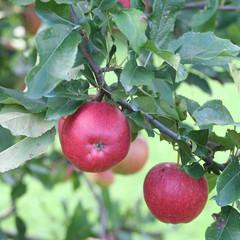 mele rosse su ramo