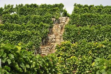 Weinberg mit steilen Stufen in Hanglage