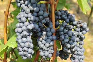 Blaue Weintrauben Lemberger