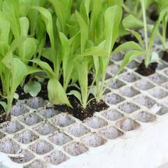 piantine di radicchio verde da trapiantare