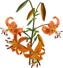 orange spotted lily illustration on white