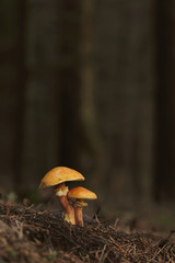Slippery Jack or sticky bun mushrooms - Suillus luteus