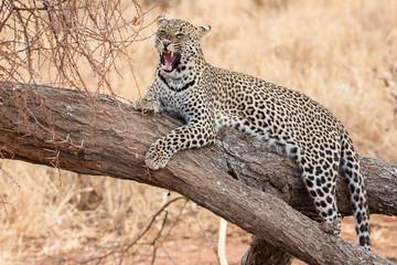 Brüllender Leopard auf Baum