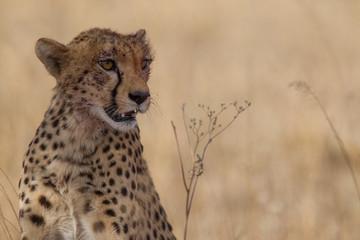 Gepard nach Essen