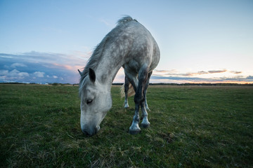 White horse eats grass at field after sunset