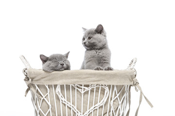 Britisch Kurzhaar BKH Kitten / British Shorthair