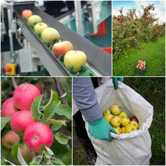 Apple harvesting collage