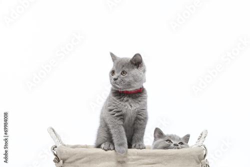 canvas print picture Britisch Kurzhaar BKH Kitten / British Shorthair
