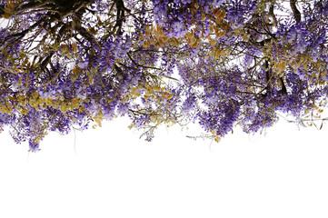 Blühender Blauregen als freigestellter Vorhang mit Textfreiraum