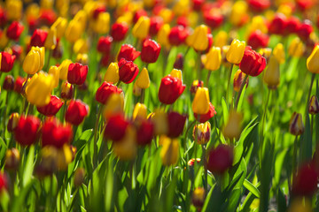 Tulips at sunny day, reds and yellows