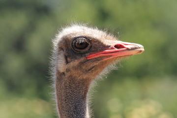 struzzo parco nazionale sudafrica