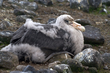 southern giant petrel chick who sits in the nest