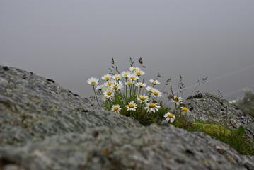 Wild flowers on the rocks ,in a  foggy landscape