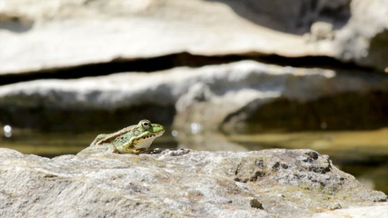Common frog, sitting and jump in garden pond