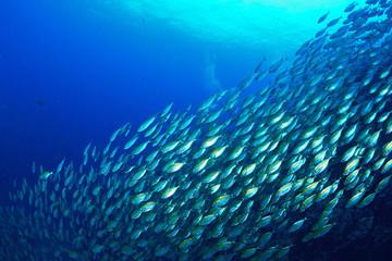 School mackerel fish in Koh Tao, Thailand