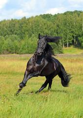 Black horse runs in sunrise field