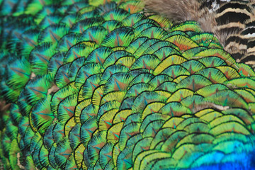 peacock feather texture