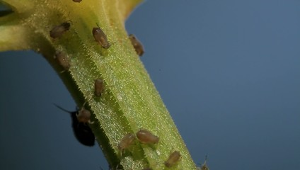 1080p, Macro Of Ants And Vine Lice On Leafs