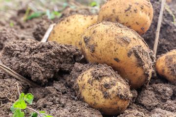 Potatoe Harvest