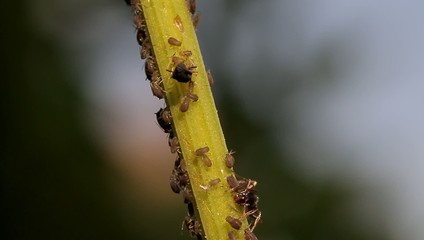 Macro Of Ants And Vine Lice On Leafs; native orig. camera output