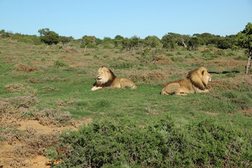 Two Kalahari lions in the Addo Elephant National Park