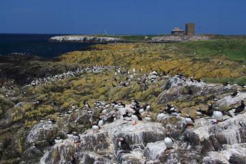 pulcinella di mare nidificazione in scogliera isole farne scozia