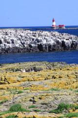 nidificazione uccelli scogliera isole farne scozia mare artico