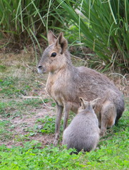 Patagonian mara with young