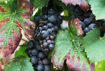 vigne de raisins noir