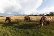 canvas print picture - Drei dänische Pferde