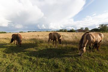 Drei dänische Pferde