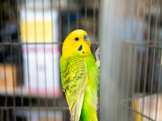 Caged budgie, budgerigar for sale on market stall. Bright yellow