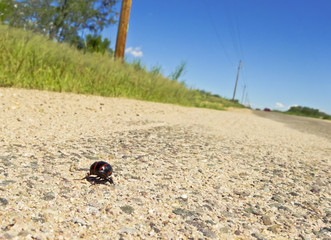 A Blister Beetle Scurries Along a Roadside
