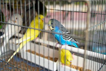Budgies, budgerigars for sale as pets on market stall, Italy. Fo