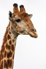 giraffes head