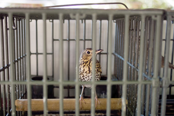 Caged song bird, thrush, for hunting, calling. Italy 2014.