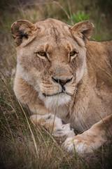 lioness gaze