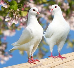 Two white pigeon on flowering background